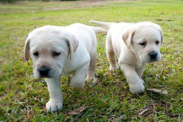 Two 6 week old yellow labrador pups walking towards the camera on the grass.