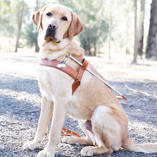 Spotto the Graduate Guide Dog