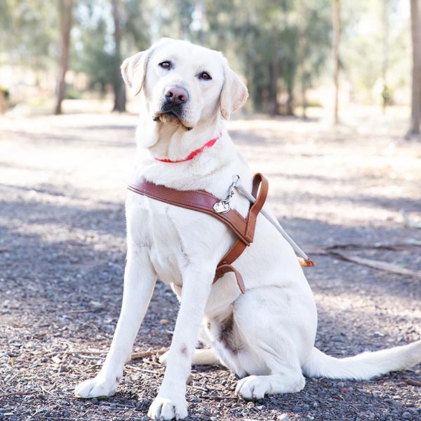Zak the graduate Guide Dog