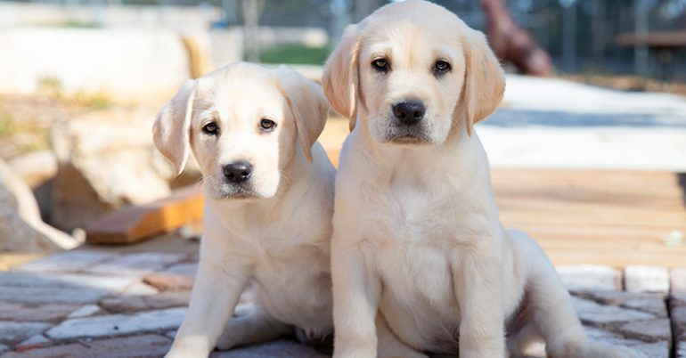 Guide Dogs NSW/ACT Puppy Raising Program now available in the ACT