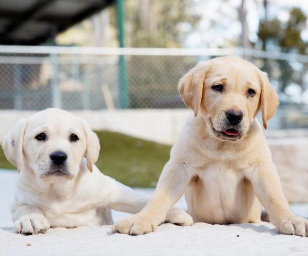 Puppy Raising Program now available in Wollongong and South Coast