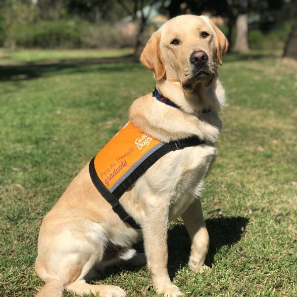 Therapy Dog Graduate Guy