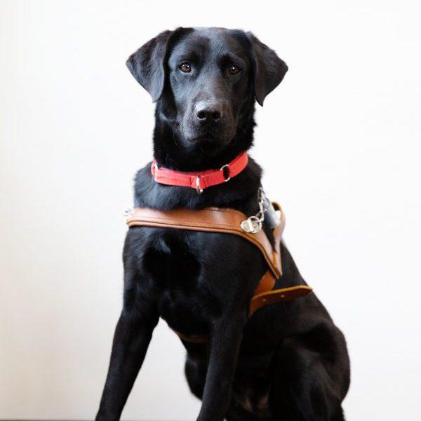 Guide Dogs Graduate Bessie