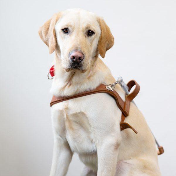 Guide Dog Graduate Gus