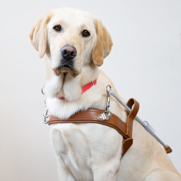 Guide Dog graduate Lucy