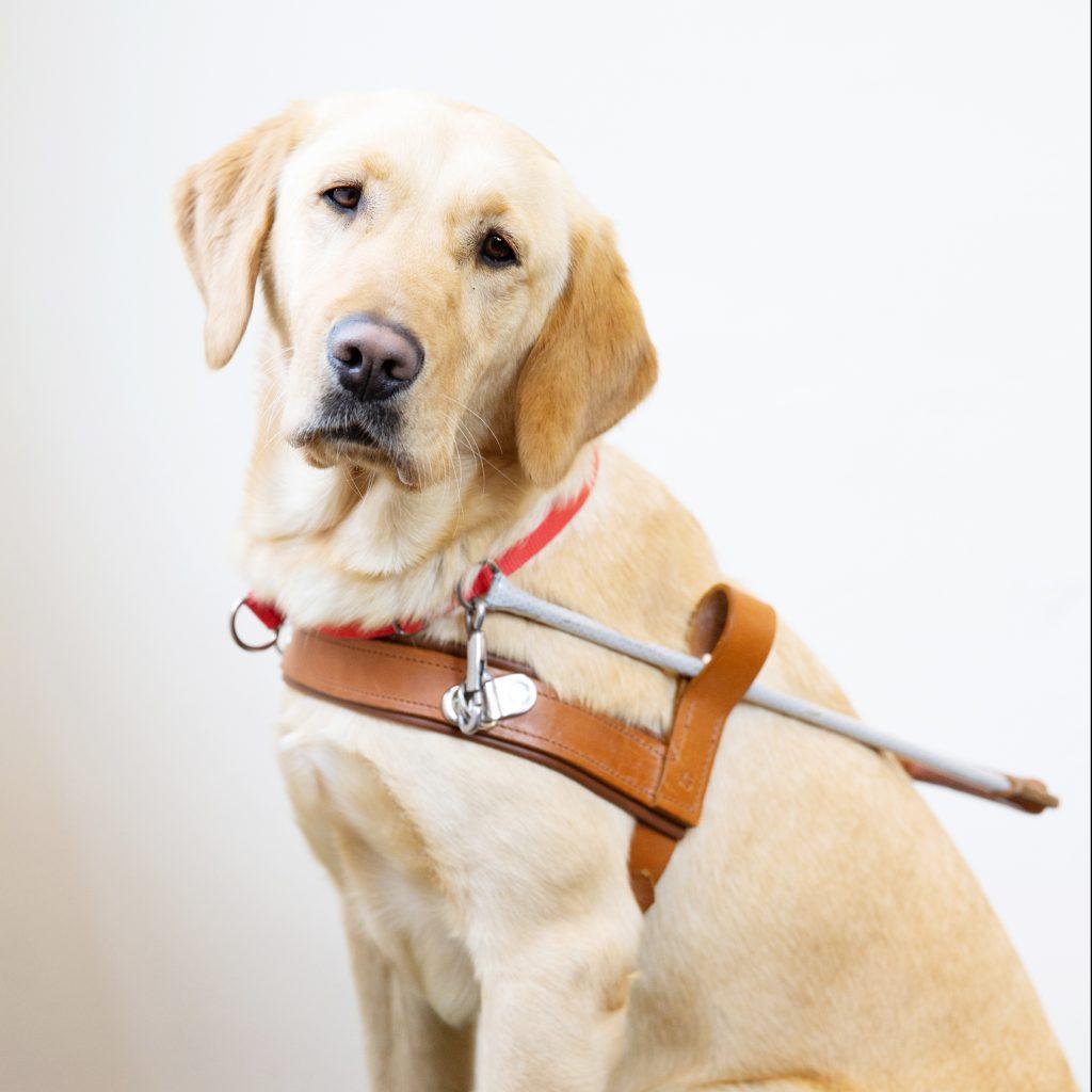 Guide Dog Graduate Hazel