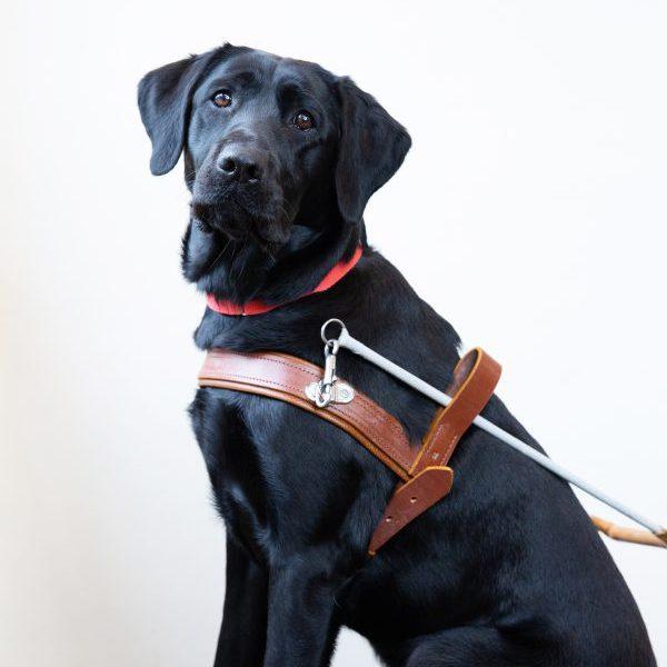 Guide Dog Graduate Jules