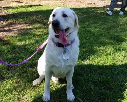 Therapy Dog Graduate Innis