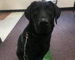 Therapy Dog Graduate Jody