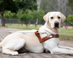Guide Dog Graduate Kingsley