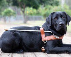 Guide Dog Graduate Kobe