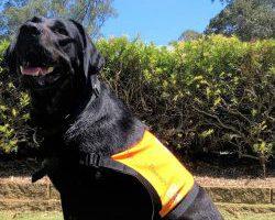 Therapy Dog Graduate Nova