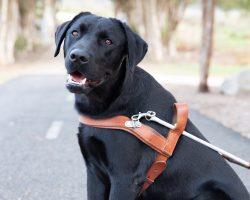 Guide Dog Graduate Tyson