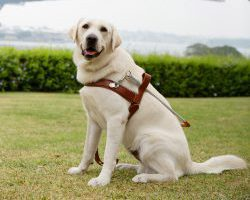 Guide Dog Graduate Potter