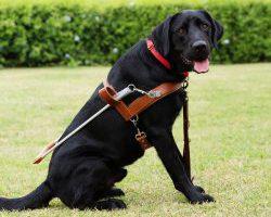 Guide Dog Graduate Maxwell