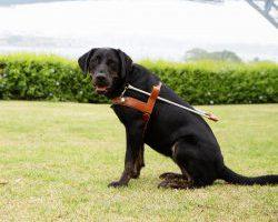 Guide Dog Graduate Nimbus