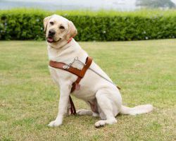 Guide Dog Graduate Quillie