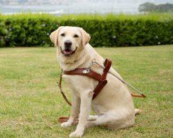 Guide Dog Graduate Misty