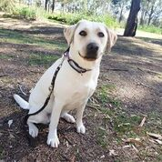 Breeding Dog Graduate Taffy
