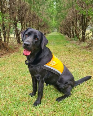 Black Therapy Dog Demi wearing her orange Therapy Dog vest