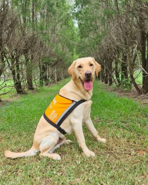 Yellow Therapy Dog Gus wearing his orange Therapy Dog vest.