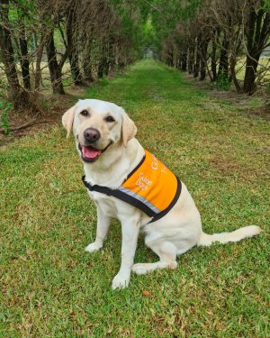 Yellow Therapy Dog, Maya, sitting on the grass in her orange Therapy Dog vest.
