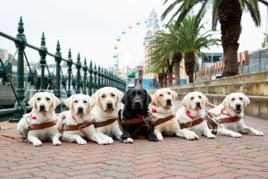 7 Guide Dogs lying on the pavement facing the camera.
