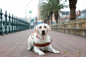 Yellow Guide Dog graduate Maddi lying face on to the camera on the pavement, wearing her Guide Dog harness.