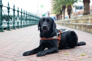 Black Guide Dog Graduate, Pluto, lying on the pavement wearing his Guide Dog harness.