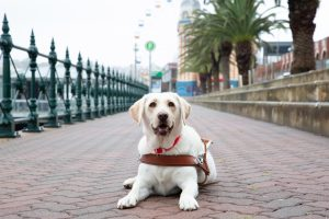 Yellow Guide Dog graduate, Nikki, lying on the pavement wearing her Guide Dog harness.
