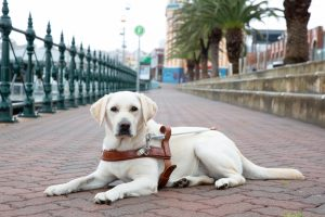 Yellow Guide Dog graduate, Opal, lying on the pavement in her Guide Dog harness