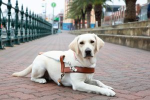 Yellow Guide Dog graduate, Olympia, lying on the pavement in her Guide Dog harness.