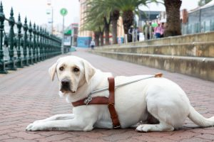 Yellow Guide Dog graduate, Owen, lying on the pavement in his Guide Dog harness.
