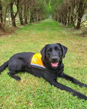 Black Therapy Dog, Polly, lying on the grass in her orange Therapy Dog vest.