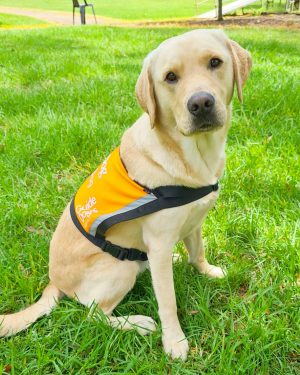 Yellow Therapy Dog, Ugo, sitting on the grass in his orange Therapy Dog vest.