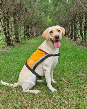 Yellow Therapy Dog, Whitney, sitting on the grass in her orange Therapy Dog vest.
