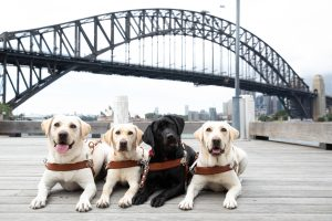 Four Guide Dogs lying on a wooden wharf with the Sydney harbour Bridge in the background.