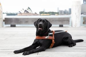 A black Guide Dog lying on a wharf with the Sydney Opera House in the background.