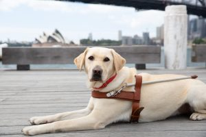 A yellow Guide Dog lying on a wharf with the Sydney Opera House in the background.