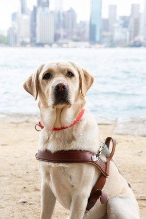 A yellow Labrador wearing a Guide Dog harness.