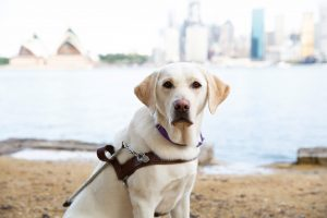 A yellow Labrador in a Guide Dog harness.
