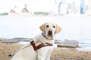 A yello.w Labrador wearing a Guide Dog harness