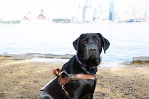 A black Labrador wearing a Guide Dog harness.