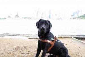 A black Labrador in a Guide Dog harness.