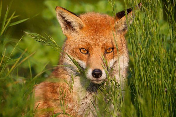 Wild dog & fox control programs